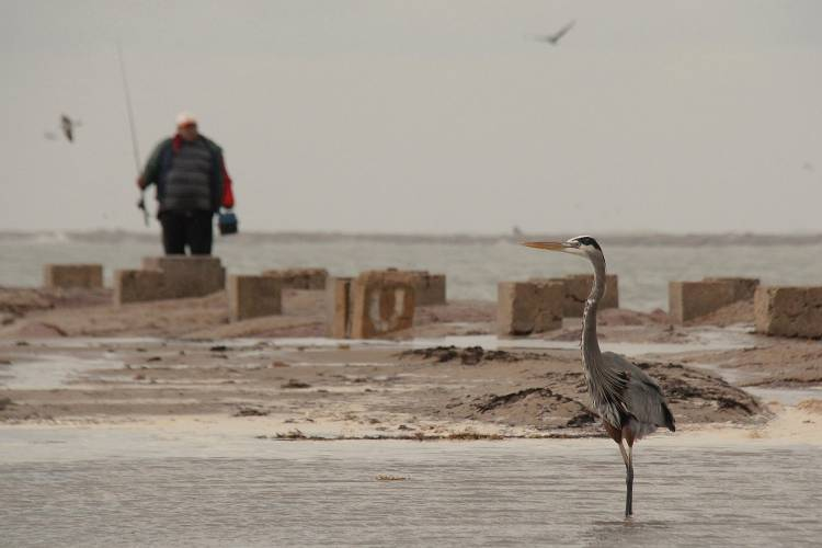A fisherman watches a great blue heron