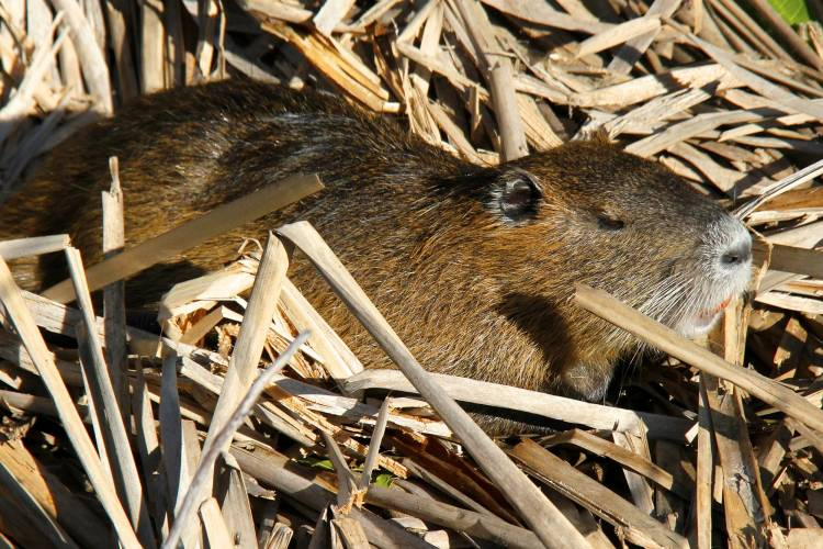 The nutria is a giant rodent that enjoys warm climes