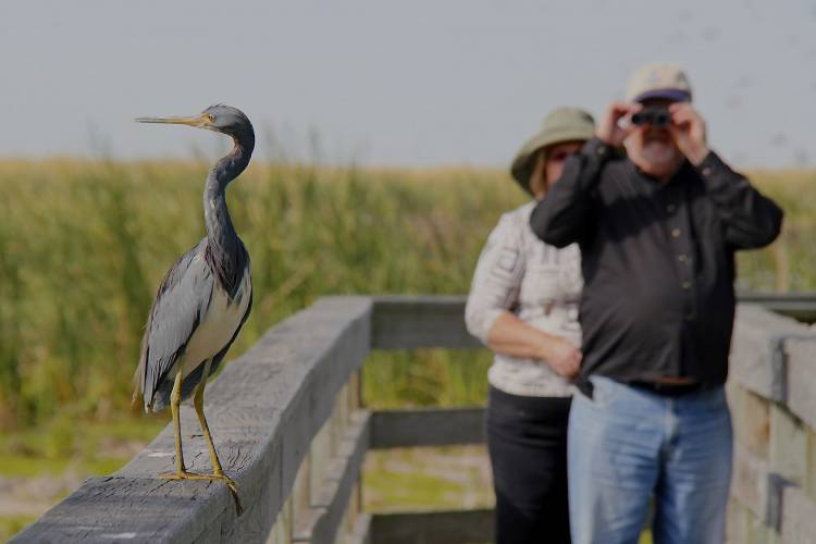 An aloof heron refuses to watch the bird-watchers